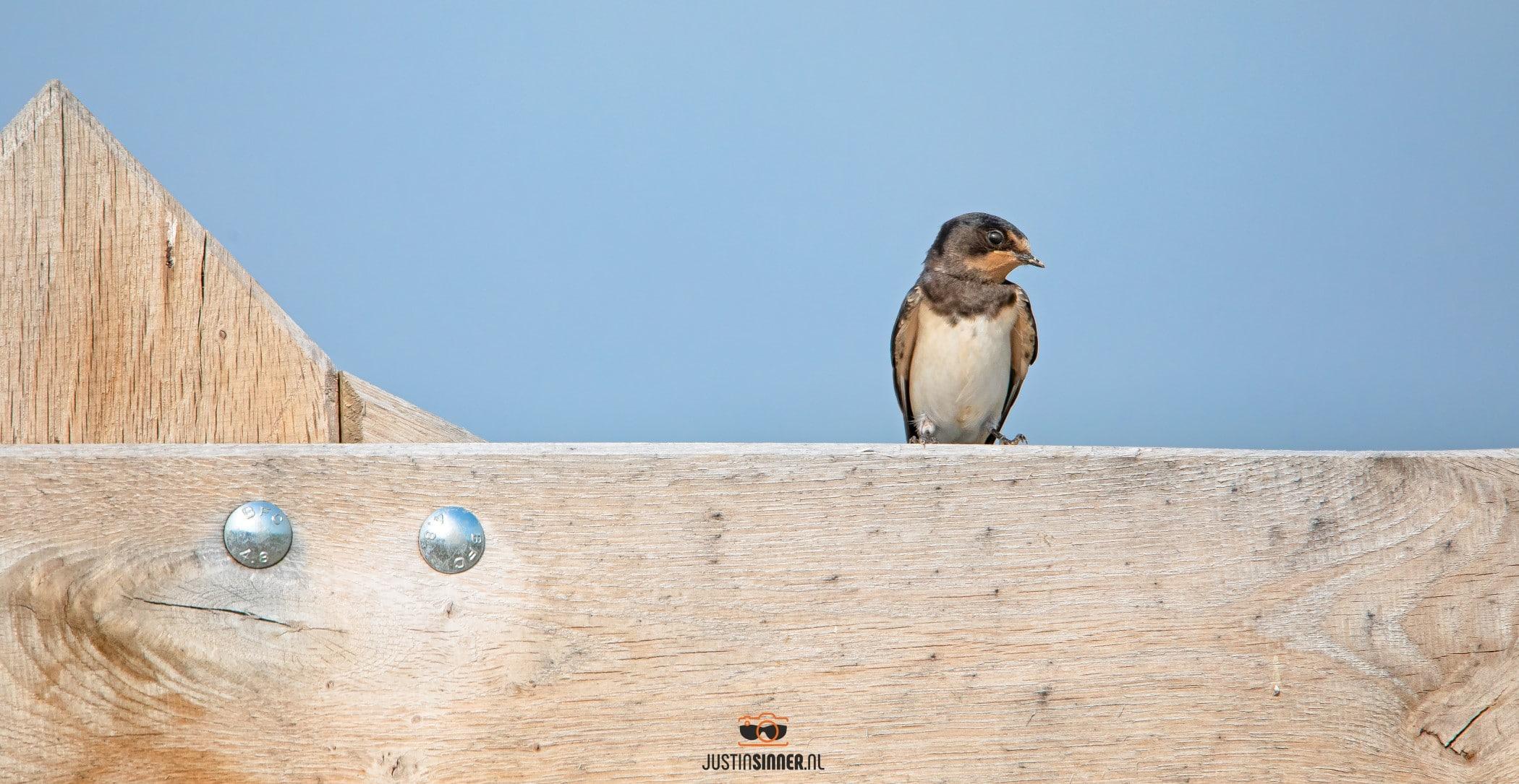 Boerenzwaluw op een boerenhek / Barn swallow on a farm fence