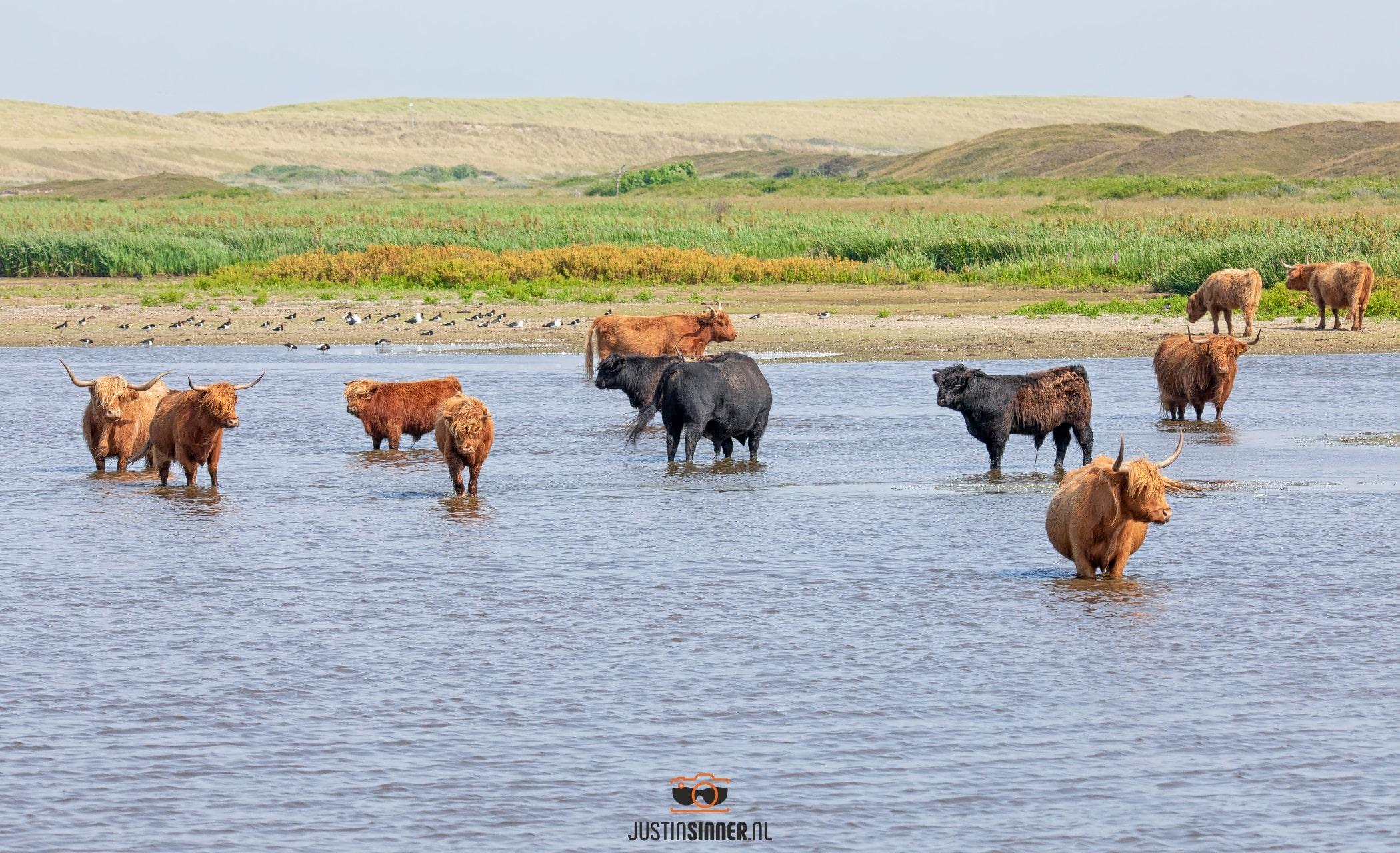 Schotse Hooglanders badderen tijdens warm zomer weer / Scottish Highlanders bathe during warm summer weather