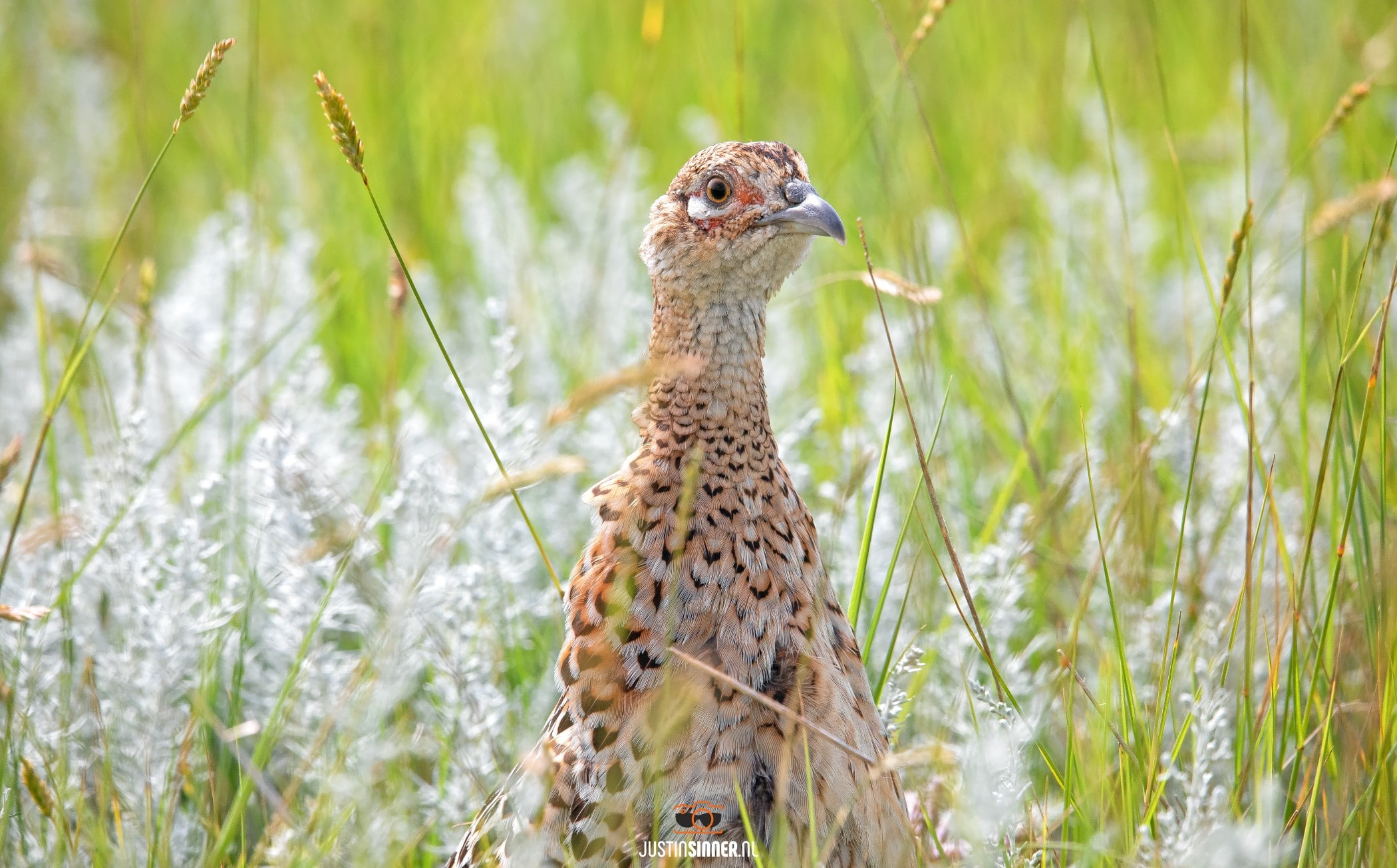 Vrouwtjes Fazant in de Slufter / Pheasant in nature reservate the Slufter