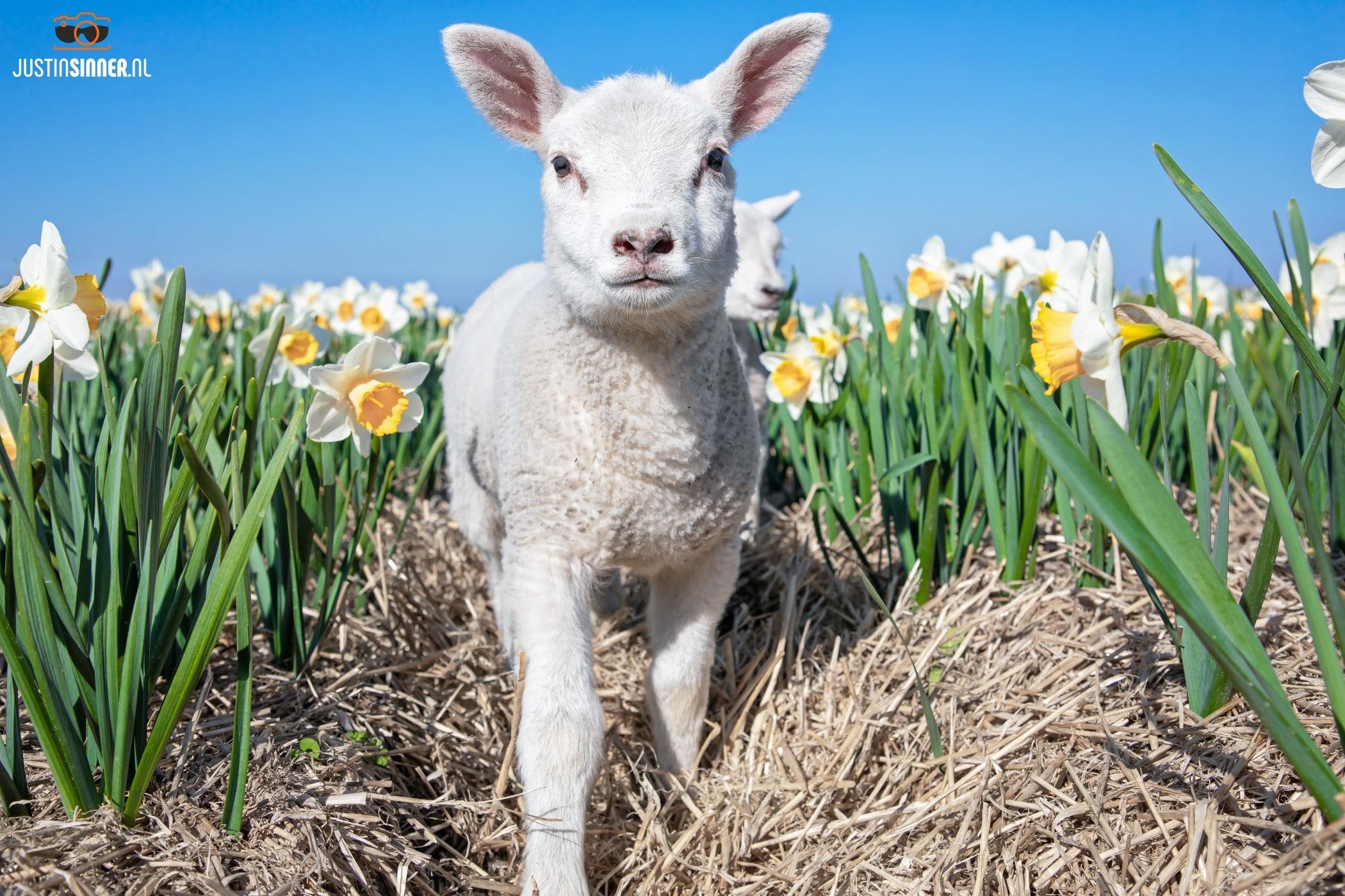 Lammetje tussen de Narcissen / Lamb between the Narcissus