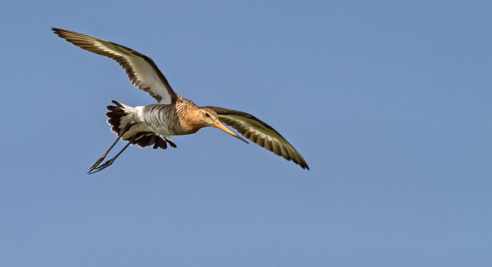 Grutto in vlucht bij natuurgebied WaalenBurg op Texel / Grutto in flight at the WaalenBurg nature reserve on Texel