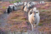 Schapen tussen de heide / Sheeps and heather