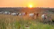 Schapen in de duinen tijdens zonsopkomst / Sheep in the dunes during sunrise