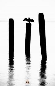 Aalscholver droogt zijn vleugels op een paal / Cormorant dries its wings on a pole / justinsinner.nl