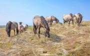 Konikpaarden in de Slufter op Texel / Konik horses in the Slufter on Texel / justinsinner.nl