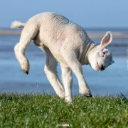 Happy Lamb! / justinsinner.nl