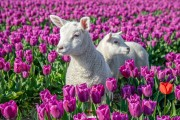 Lammetjes en Tulpen op texel / Lambs and Tulips on Texel / justinsinner.nl