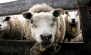 Schaapjes / Sheep