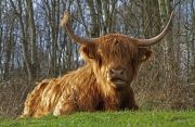 Schotse Hooglander / Scottish Cattle