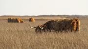 Schotse Hooglanders grazen op de vlakte / Highland cattle graze on the plain
