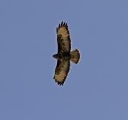 Buizerd in vlucht / Common buzzard in flight