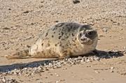 Grijze Zeehond / Grey Seal