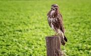 Buizerd / Common Bizzard