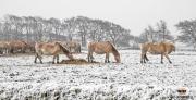 Paarden in de sneeuw op texel / Horses in the snow on Texel