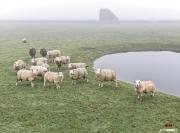 Schapen in de mist / Sheep in the fog