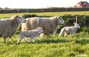 Eerste lammetjes van 2018 / First lambs of 2018