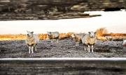 Schaapjes in de sneeuw op Texel / Sheep in the snow on Texel