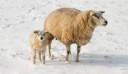 Lammetje en mama in de sneeuw / Little lamb and mother in the snow