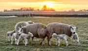 Lammetjes spelen tijdens de zonsondergang / Lambs are playng untill sunset