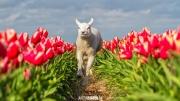 Lente op Texel!!! Lammetje rent door de tulpenvelden / Spring on Texel !!! Lamb is running through the tulip fields