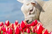 Lief lammetje tussen de tulpen op Texel / Little lamb with Tulips on Texel