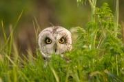 Velduil / Short Eared Owl
