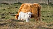 Bijzonder wit kalfje van de Schotse Hooglander bij haar moeder / Particular white calf of the highland cattle with her mom