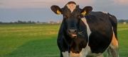 Koe / Cow