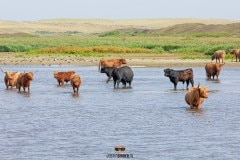 Schotse Hooglanders badderen tijdens warm zomer weer / Scottish Highlanders bathe during warm summer weather