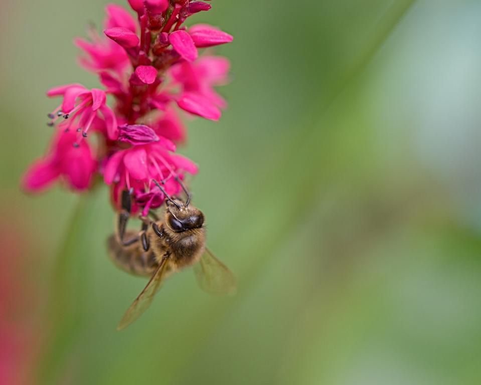 Honingbij op Duizendknoop / Bee on Knotweed