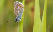 Icarus Blauwtje op Texel / Common Blue on Texel
