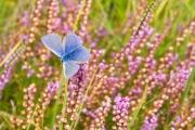 Icarus Blauwtje op mooi gekleurde heide / Common blue on beautiful colored heather