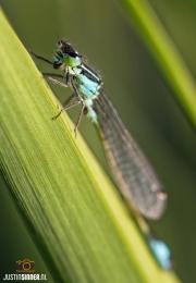 Lantaarntje langs de sloot op Texel / Lantern dragonfly along the ditch on Texel