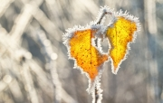 Winters blad met rijp / Winter leaf with hoarfrost