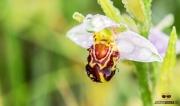 Bijenorchis op Texel / Bee Orchid on Texel