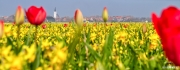 De gekleurde bollenvelden rondom het dorp Den Hoorn op Texel / The colored bulb fields around village den Hoorn on Texel