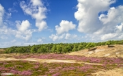 Heide in bloei op Texel / Heather in bloom on Texel