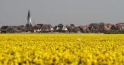 Den Hoorn in een zee van Narcissen. Den Hoorn in a sea of yellow Daffodils.
