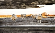 Schaapjes op een bevroren land / Sheep on a frozen land