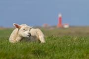 Lammetje met op de achtergrond de Vuurtoren van Texel / Lamb with in the bachground the lighthouse of Texel