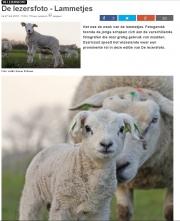 De eerste op de Hogeberg / First Lambs at Texel / Texelse Courant febr 2016