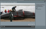 Stranding Potvissen op Texel / Dead sperm whales on Texel / NHD jan 2016