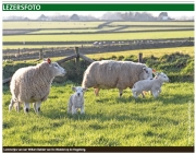 Eerste lammetjes op de Hogeberg, Texelse Courant febr. 2018 / First newborn lambs of 2018, Texel Newspaper, febr. 2018