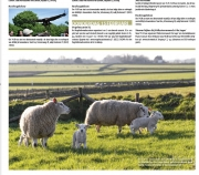 Eerste lammetjes op de Hogeberg, Texel dit Weekend febr. 2018 / First newborn lambs of 2018, Texel dit Weekend,, febr. 2018