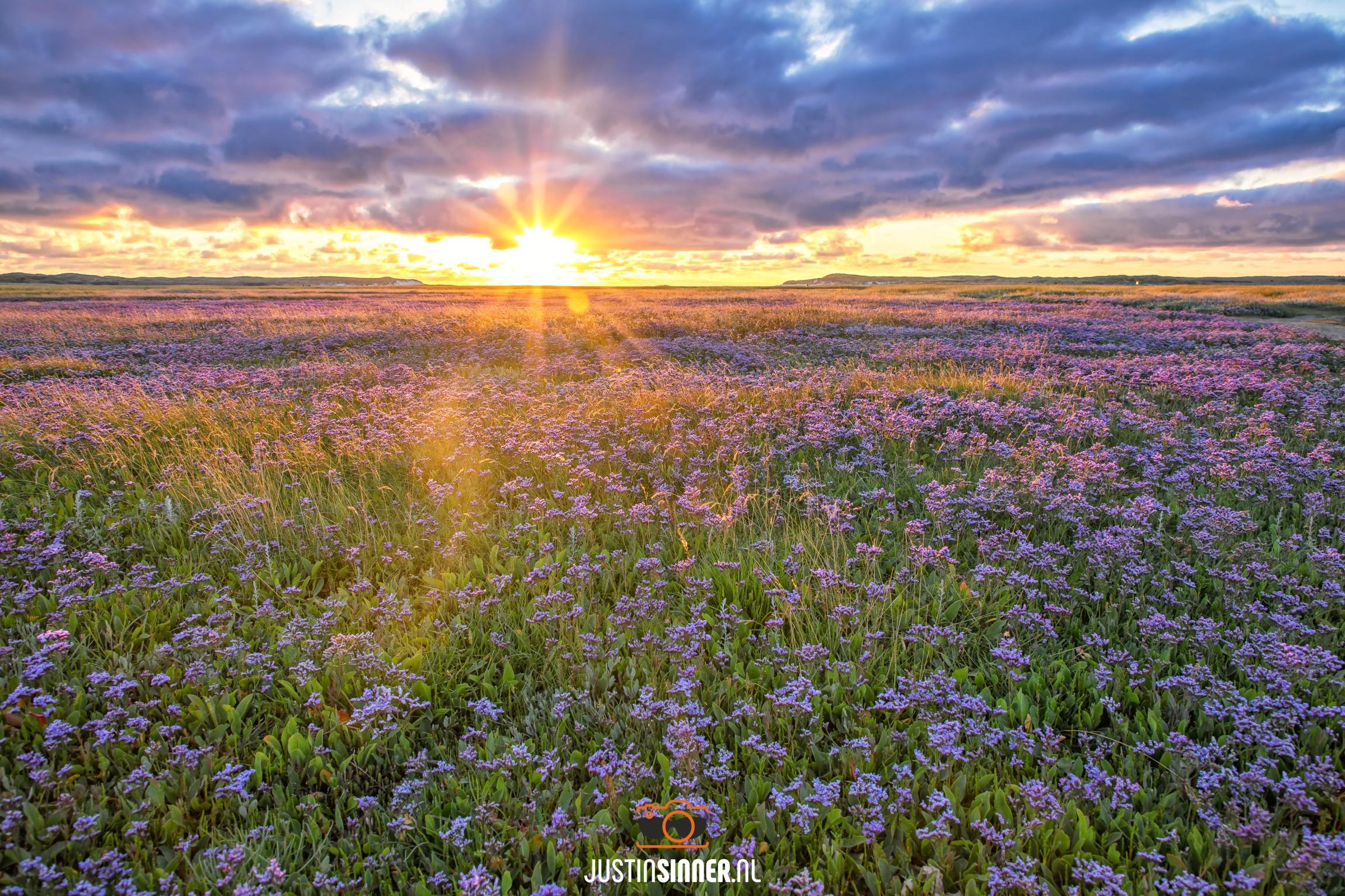 Bloeiende lamsoor in de slufter op Texel / Sea LAvender in bloom in nature reservate de Slufter on Texel