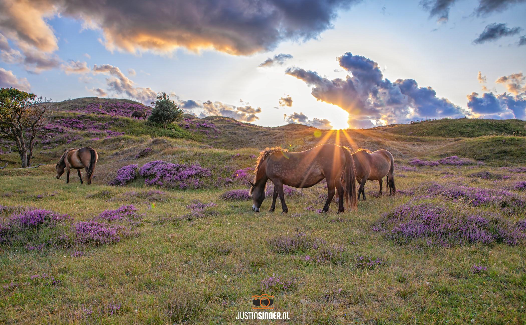 Paarden en heide op Texel / Horses and heather on Texel