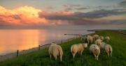 Schaapjes kijken uit over de Waddenzee / Sheep looking out over the Wadden Sea