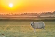Schaap in natuurgebied de hogeberg op Texel tijdens een prachtige zonsondergang / Sheep in the meadow on nature reservate de Hogeberg till a stunning sunset