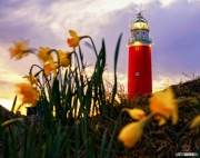 Texelse vuurtoren met wuivende Narcissen / Texel Lighthouse with waving Daffodils