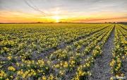 Narcissen tijdens zonsondergang op Texel / Narcissus during sunset on Texel